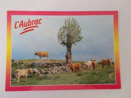 L AUBRAC ( 12 Aveyron ) PATURAGES SUR LES MONTS D AUBRAC TROUPEAU VACHES - France