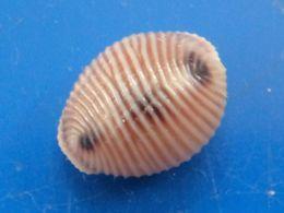 Trivia Monacha Atlantique 11,5mm GEM N12 - Seashells & Snail-shells