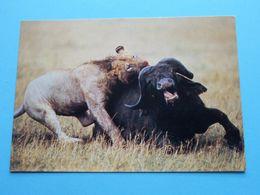 LION On KILL African Wildlife ( Sapra Studio ) Anno 19?? ( Zie Foto ) ! - Lions
