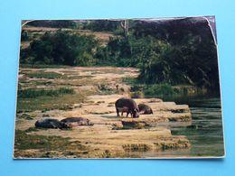 HIPPOPOTAMUS Bathing In The Sun ( Zaire ) Anno 1977 ( Zie Foto ) ! - Hippopotamuses