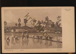Garoet - Rijstplanten [AA47-2.298 - Indonesia