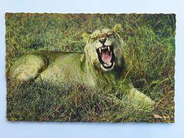 Carte Postale : Faune Africaine : LION - Lions