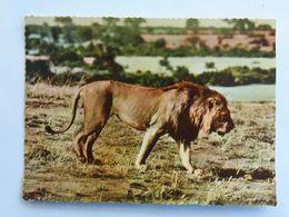 Carte Postale : Un LION - Lions