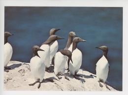 Oiseau Macareux Moine (fratercula Artica) Cp Vierge N° Jos 6183 - Birds