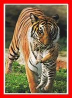CPSM/gf ANIMAUX.  Une Tigresse En Promenade Avec Son Petit...D346 - Tigres