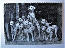 ANIMAUX - Chiens Dalmatiens (photo) - Chiens