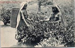 CEYLAN - Coolie Women Plucking Tea - Sri Lanka (Ceylon)