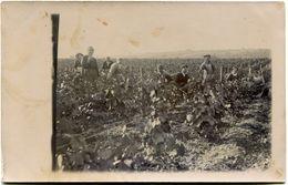 ACCOLAY Par VERMENTON - CARTE PHOTO TRES RARE Et EXCEPTIONNELLE - LES VENDANGES En 1913 De La FAMILLE LEMOULLE - - Vermenton