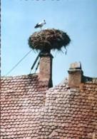 Nid De Cigognes à Obernai (67) - Oiseaux