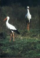 80 - Rue : Parc Ornithologique Du Marquenterre - Cigognes Blanches - Oiseaux
