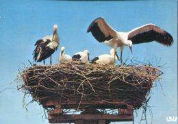 Nid De Cigognes à Muttersholtz - Oiseaux