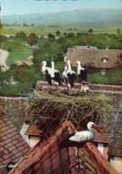 Cigognes D'Alsace : Famille Nombreuse - Photo J.Sommer - Oiseaux