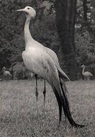 CPSM - PARC ZOO De PARIS - GRUE De STANLEY - Edition Draeger - Oiseaux