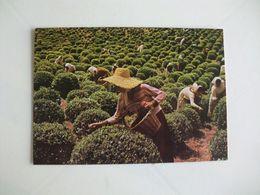 Postcard Postal Portugal Açores Ilha De S. Miguel Apanha Do Chá - Açores