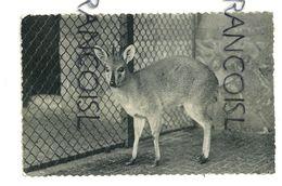 Jardin Zoologique D'Anvers Antwerpen. Céphalophe De L'Abyssinie. Duikerbok. Photo Zoo.NELS - Lions