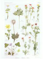Gravure Flore PL. 7 Renonculacées Anémone Hépatica Adonis Par Gaston Bonnier - Prints & Engravings