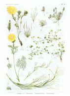 Gravure Flore PL. 8 Renonculacées Adonis Myosurus Cératocephalus Ranunculus Par Gaston Bonnier - Prints & Engravings