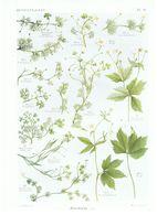 Gravure Flore PL. 9 Renonculacées Ranunculus Par Gaston Bonnier - Prints & Engravings