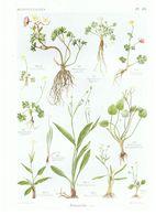 Gravure Flore PL. 10 Renonculacées Ranunculus Par Gaston Bonnier - Prints & Engravings