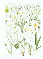 Gravure Flore PL. 11 Renonculacées Ranunculus Par Gaston Bonnier - Prints & Engravings
