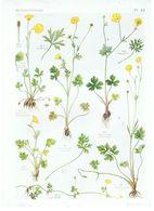 Gravure Flore PL. 13 Renonculacées Ranunculus Par Gaston Bonnier - Prints & Engravings