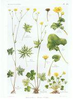 Gravure Flore PL. 15 Renonculacées Ranunculus Ficaria Caltha Par Gaston Bonnier - Prints & Engravings