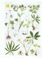Gravure Flore PL. 16 Renonculacées Trollius Eranthis Helleborus Isopyrum Par Gaston Bonnier - Prints & Engravings
