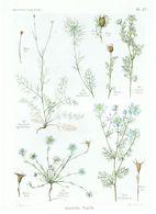 Gravure Flore PL. 17 Renonculacées Garidella Nigella Par Gaston Bonnier - Prints & Engravings