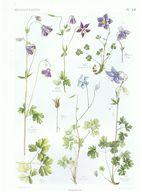 Gravure Flore PL. 18 Renonculacées Aquilegia Par Gaston Bonnier - Prints & Engravings