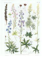 Gravure Flore PL. 20 Renonculacées Delphinium Aconitum Par Gaston Bonnier - Prints & Engravings