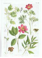 Gravure Flore PL. 22 Renonculacées Actaea Paeonia Par Gaston Bonnier - Prints & Engravings