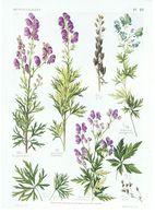 Gravure Flore PL. 21 Renonculacées Aconitum Par Gaston Bonnier - Prints & Engravings