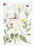 Gravure Flore PL. 25 Pavavéracées Papaver Meconopsis Roemeria Glaucium Par Gaston Bonnier - Prints & Engravings