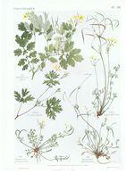 Gravure Flore PL. 26 Pavavéracées Chelidonium Hypecoum Par Gaston Bonnier - Prints & Engravings