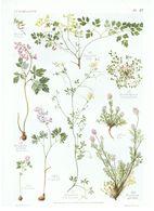 Gravure Flore PL. 27 Fumaraciées Corydallis Sarcocapnos Fumaria Par Gaston Bonnier - Prints & Engravings