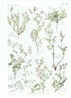 Gravure Flore PL. 28 Fumaraciées Fumaria Par Gaston Bonnier - Prints & Engravings