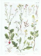 Gravure Flore PL. 29 Crucifères Raphanus Sinapis Par Gaston Bonnier - Prints & Engravings