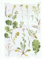 Gravure Flore PL. 30 Crucifères Sinapis Eruca Brassica Par Gaston Bonnier - Prints & Engravings