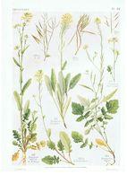 Gravure Flore PL. 31 Crucifères Brassica Par Gaston Bonnier - Prints & Engravings