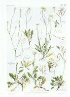 Gravure Flore PL. 32 Crucifères Hirschfeldia Diplotaxis Eruscatrum Par Gaston Bonnier - Prints & Engravings