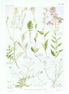 Gravure Flore PL. 33 Crucifères Eruscatrum Moricandia Hesperis Malcolmia Par Gaston Bonnier - Prints & Engravings