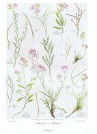 Gravure Flore PL. 34 Crucifères  Malcolmia Matthiola Par Gaston Bonnier - Prints & Engravings