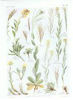 Gravure Flore PL. 35 Crucifères Cheiranthus Erysimum Par Gaston Bonnier - Prints & Engravings