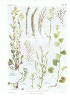 Gravure Flore PL. 36 Crucifères Barbarea Alliaria Par Gaston Bonnier - Prints & Engravings