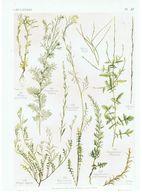 Gravure Flore PL. 37 Crucifères Braya Sisymbrium Par Gaston Bonnier - Prints & Engravings