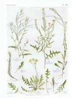 Gravure Flore PL. 38 Crucifères Sisymbrium Par Gaston Bonnier - Prints & Engravings