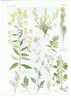 Gravure Flore PL. 39 Crucifères Sisymbrium Hugueninia Nasturtim Par Gaston Bonnier - Prints & Engravings