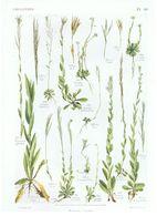 Gravure Flore PL. 40 Crucifères Turritis Arabis Par Gaston Bonnier - Prints & Engravings