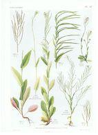 Gravure Flore PL. 41 Crucifères Arabis Par Gaston Bonnier - Prints & Engravings