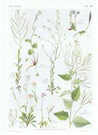 Gravure Flore PL. 42 Crucifères Arabis Par Gaston Bonnier - Prints & Engravings